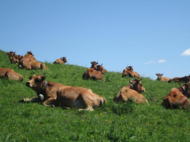 15.La Tarine, vache laitière rustique...